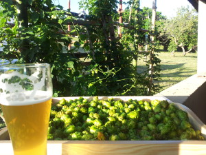 Hops and beer (002)